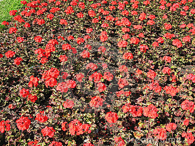 Zonal Pelargonium (Pelargonium zonale)