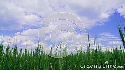 Zone de blé d'hiver banque de vidéos