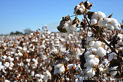 Zone de coton