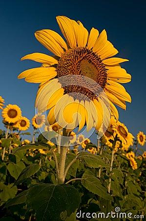 Zonnebloemen bij Zonsopgang