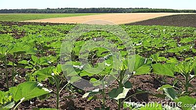 4.000 zonnebloemen in de landbouw, onrijpe groentesector, gekweekte landweergave stock footage