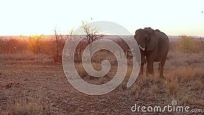 Zonsondergangolifant het voeden stock video
