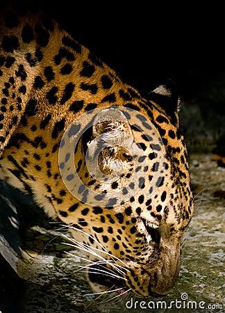 Zoo leopard drinking water