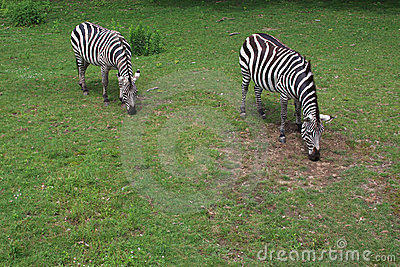 Zoo s Zebras