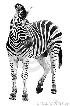 Zoo single  burchell zebra isolated
