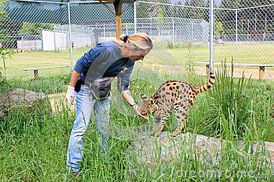 Zoo Worker Feeding Wild Cat Editorial Photo