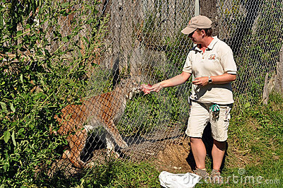Zookeeper feeds lynx Editorial Image
