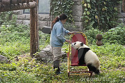 Zookeeper, Giant Panda Bear Cub, Beijing China Zoo Editorial Image