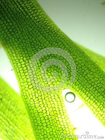 Free Zoom Microorganism Algae Stock Image - 92155971