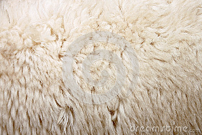 Zoom Wool of sheep.