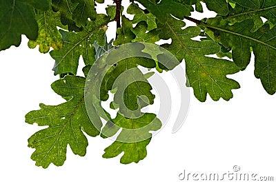Zostaw oak