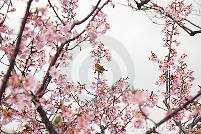 Zosterops on cherry blossom