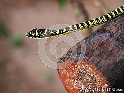 Złoty drzewny wąż