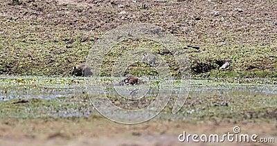 Zwart-gekrabde borstel-Bont- Rat in Weide stock video