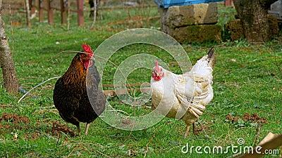 Zwart-witte kip twee, weidt op het landbouwbedrijf stock footage