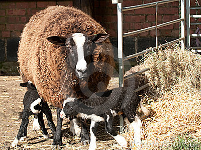 Zwartbles with triplets in the hay