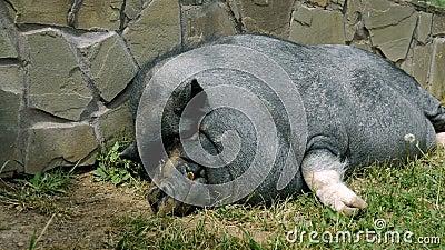 Zwarte beer, het rusten, die dichtbij de muur slapen, op een zonnige dag Concept: ecologie, vee, landbouw, milieu stock video