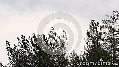 Zwarte koolsilhouettes op de takken Vogels die van de boom vliegen Langzame beweging stock footage