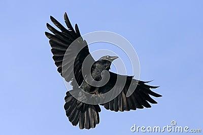Zwarte kraai tijdens de vlucht met uitgespreide vleugels