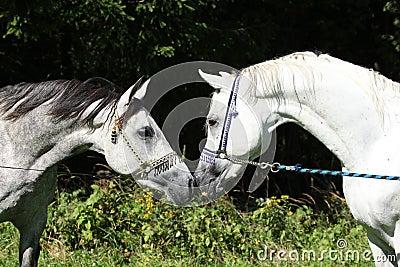 Zwei arabische Stallions mit Show Halters