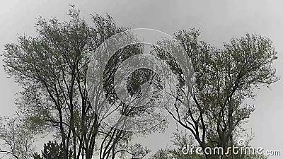 Zwei Bäume, die in Wind beeinflussen stock footage