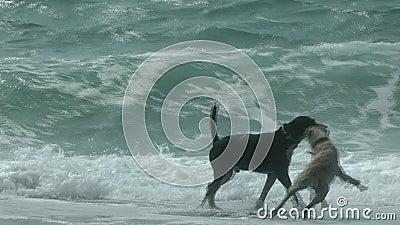 Zwei Hunde, die auf dem Strand spielen