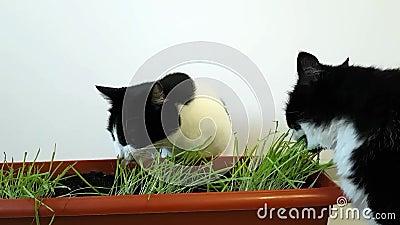 Zwei inländische Schwarzweiss-Katzen essen Haushafer Gewachsenes Gras für Haustiere Haustier care stock video