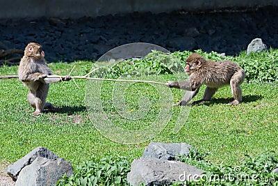 Zwei JapanerMacaque, der über einem Steuerknüppel kämpft.