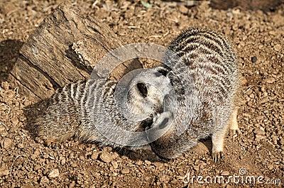 Zwei Meerkats