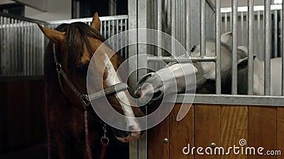 Zwei Pferde, die in den Ställen küssen Pferd zwei, das zusammen küsst Brown und Schimmel küssen