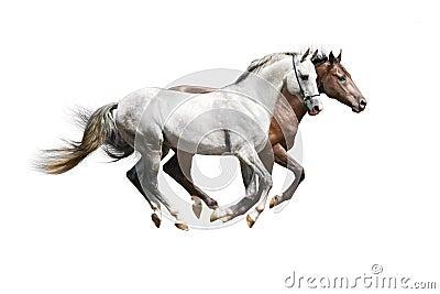 Zwei Stallions