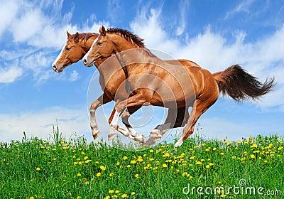 Zwei Stallions galoppieren auf dem Gebiet