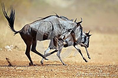Zwei Wildebeests, die durch die Savanne laufen