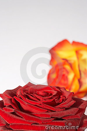 Free Zweifarbige Rose - Two Colored Rose Stock Photos - 448163
