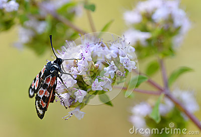 Zygaena butterfly on flower