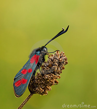 Free Zygaena Filipendulae Butterfly In Warm Light Royalty Free Stock Photography - 11178477