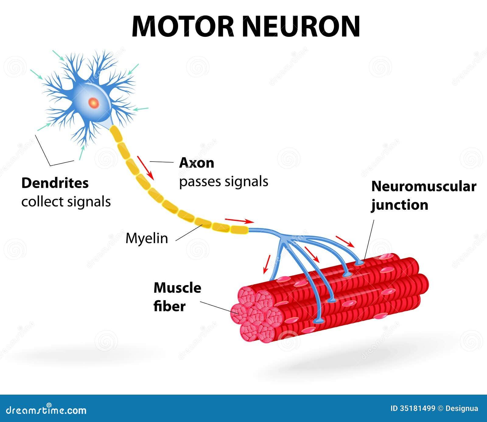 Нейрон двигательный фото
