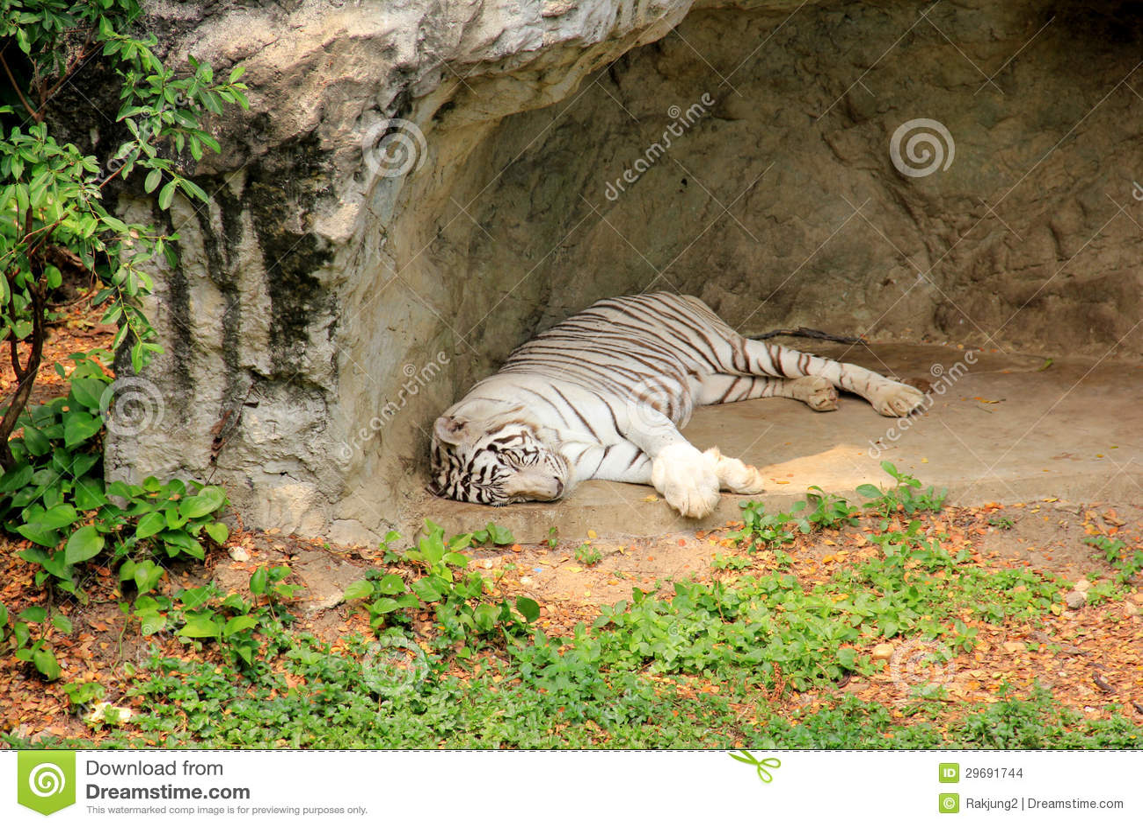白色老虎睡觉 库存图片