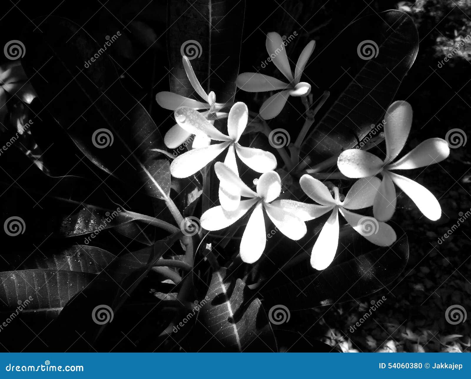 黑白羽毛花图片