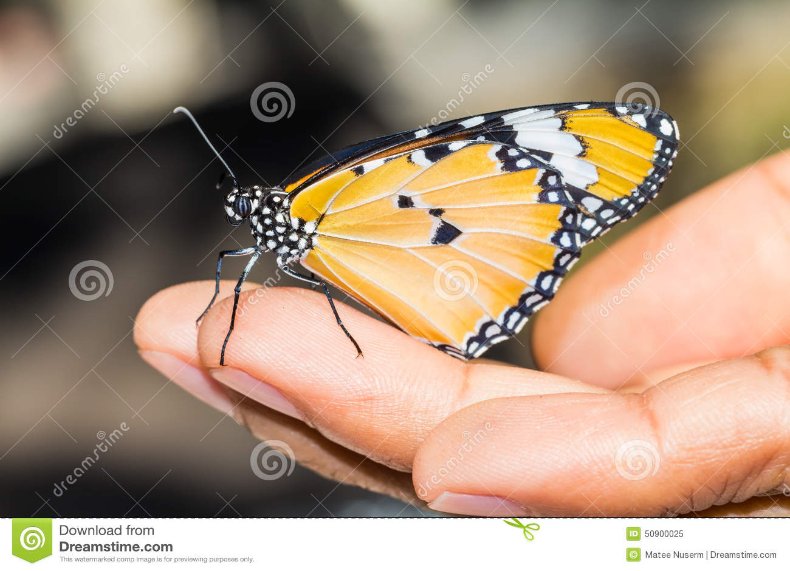 抱怨老虎蝴蝶