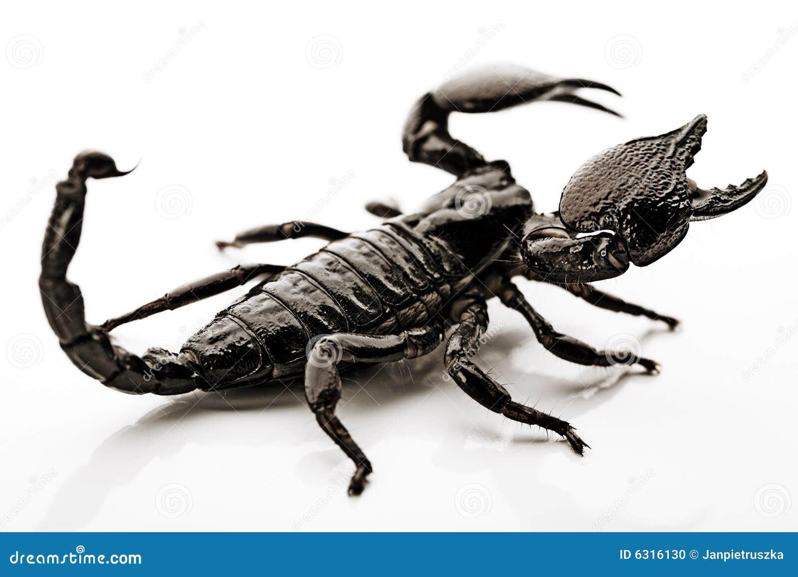背景蝎子白色