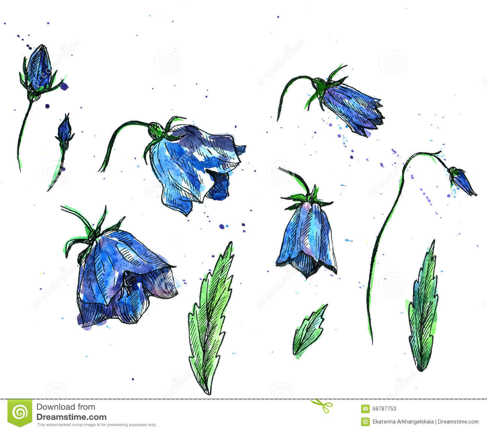 画被水彩,隔绝了风轮草蓝色花,芽和叶子,手拉的花卉设计元素,艺术性的图片