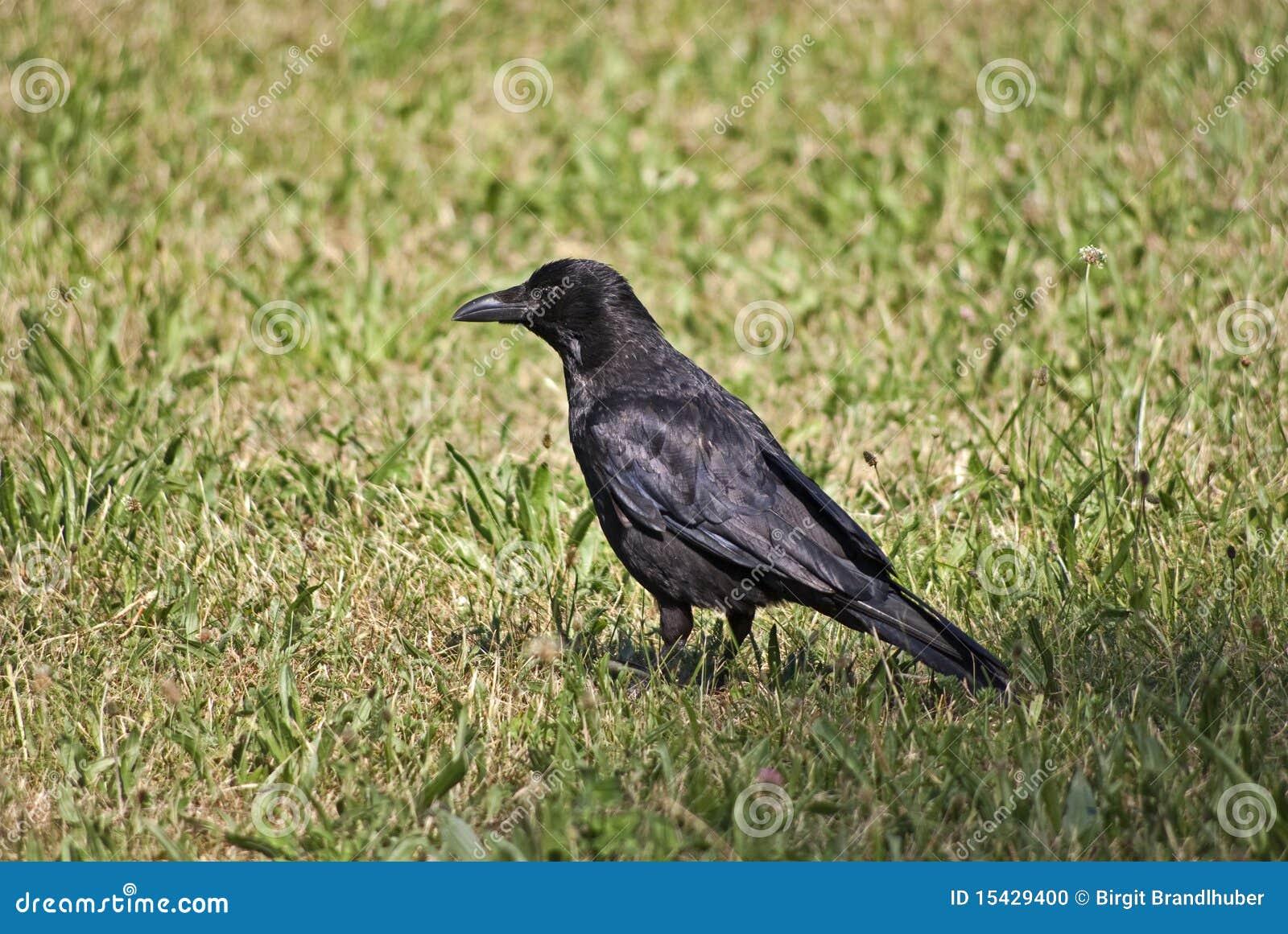 吃腐肉的乌鸦 库存照片