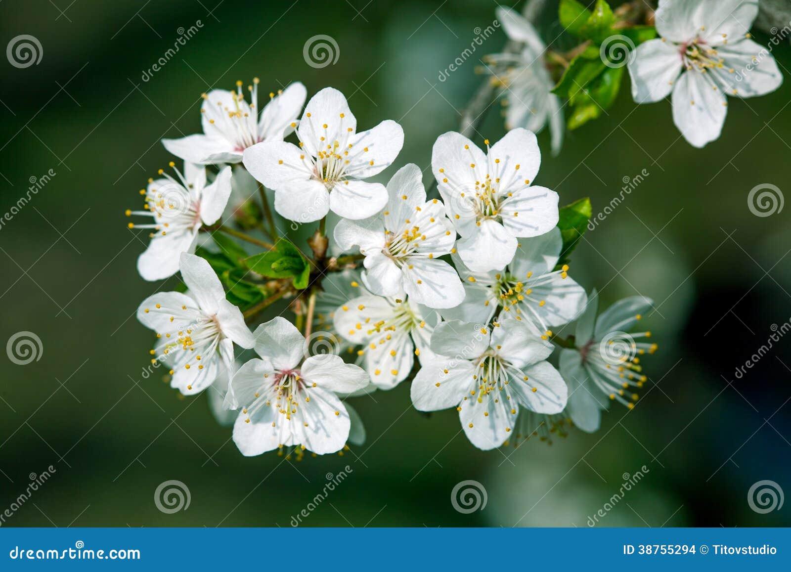 春天开花:一棵开花的树的分支