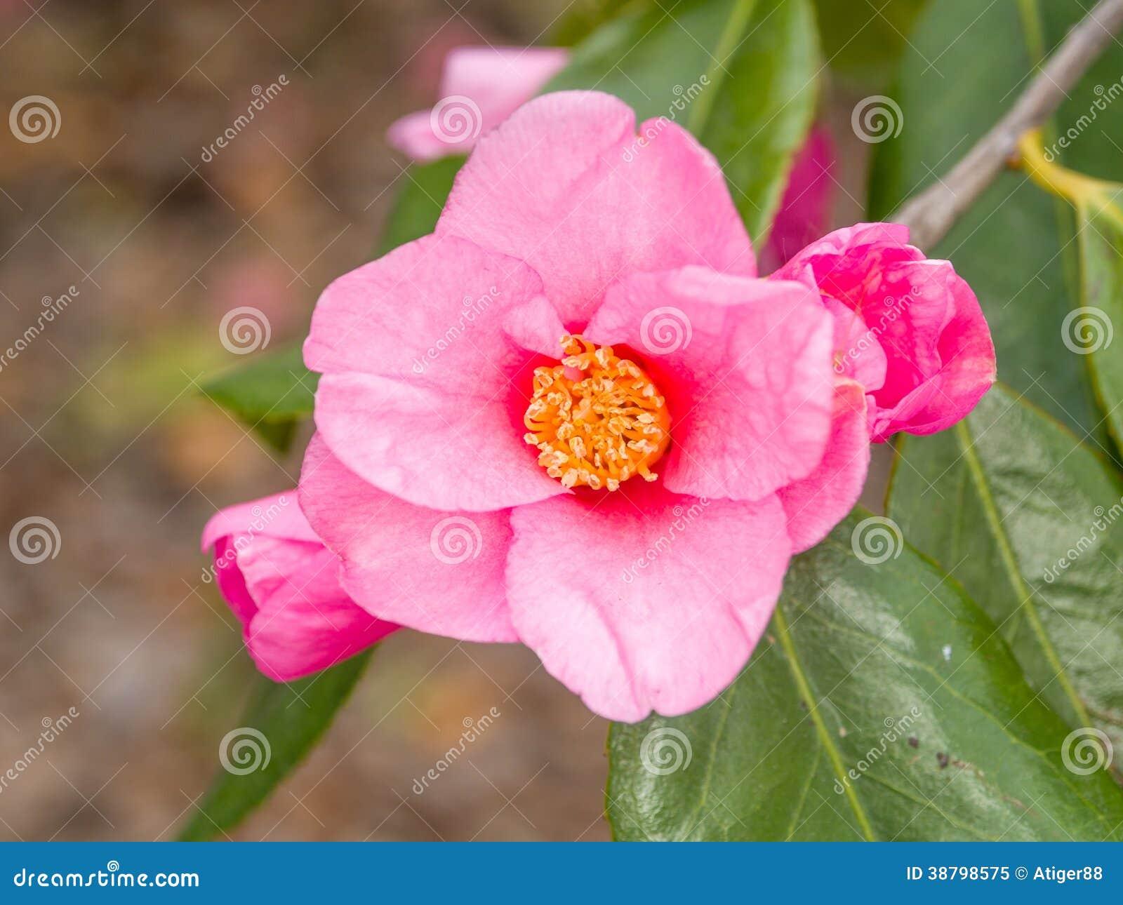 春天开花系列,桃红色山茶花
