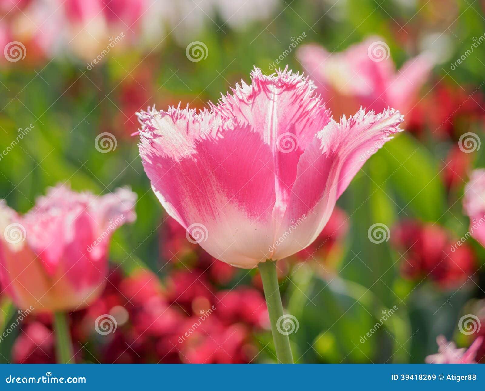 春天开花系列,与锯齿状的瓣的桃红色郁金香
