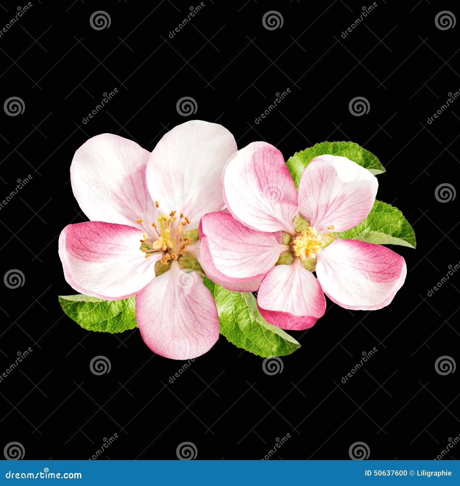 春天开花 在黑色隔绝的苹果树花