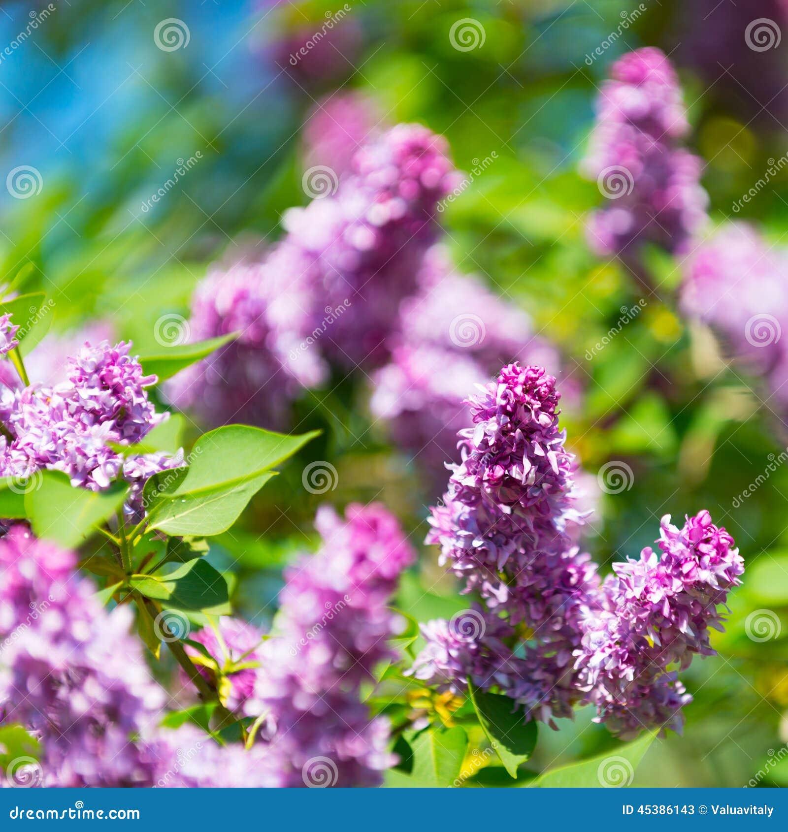 淡紫色树开花的花在春天的