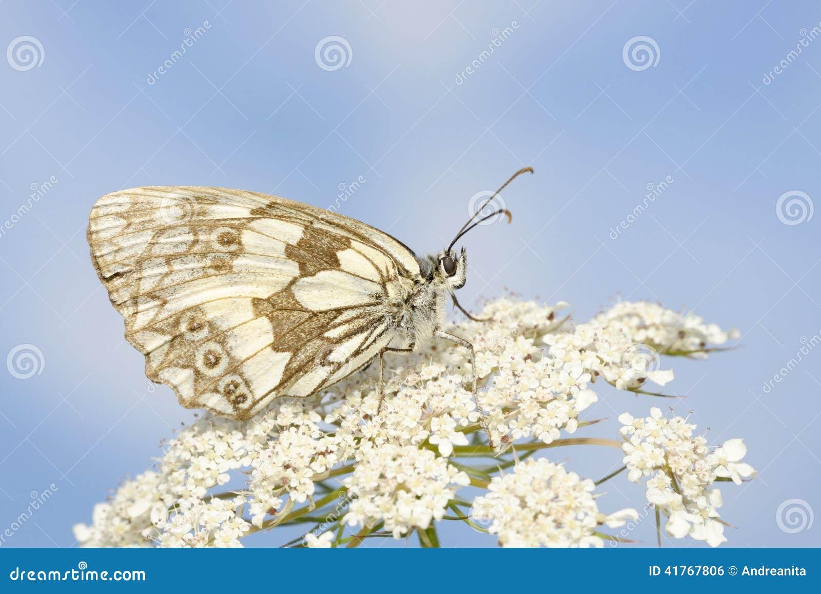 蝴蝶使有大理石花纹的白色