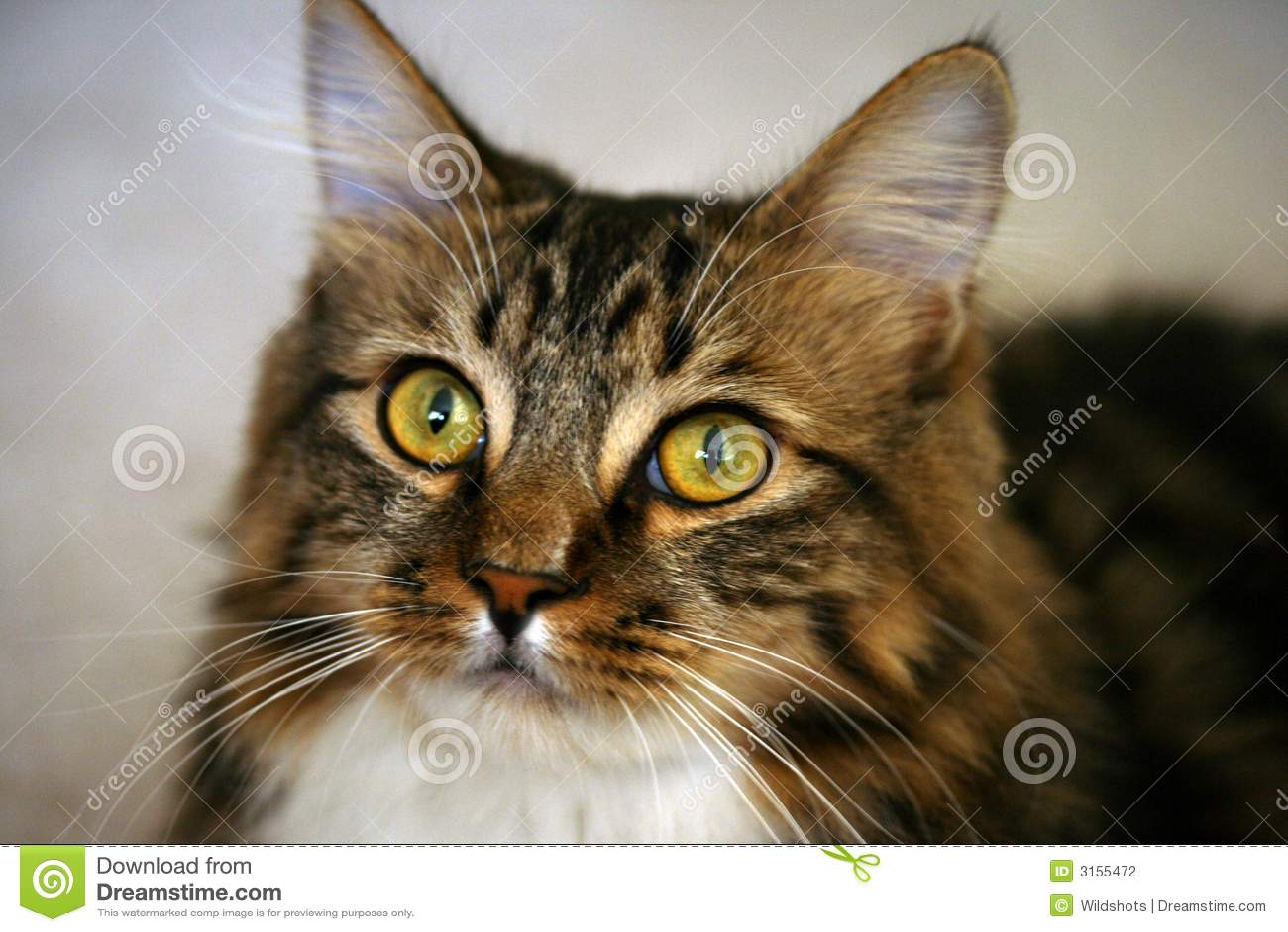 逗人喜爱的虎斑猫 图库摄影